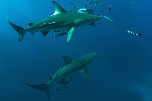 Sharkskin -