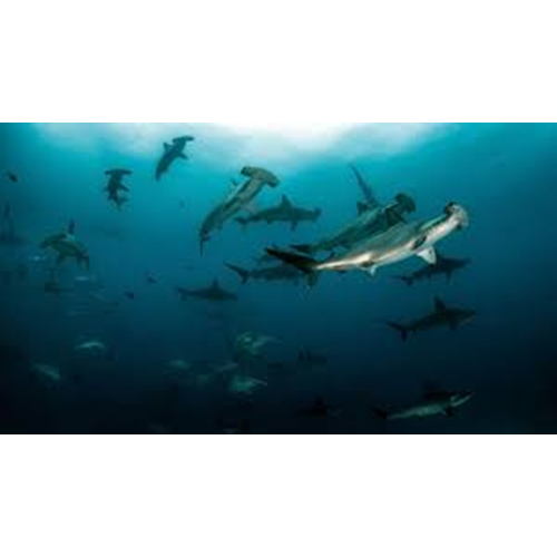 AWARE Shark Conservation (Excl Material)